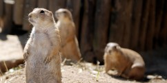 FRANCE-ANIMAL-BIRTH-PRAIRIE DOG